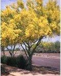 Blue Palo Verde Tree - Phoenix Landscaping