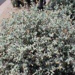 Wooly Butterfly Bush - Phoenix Landscaping
