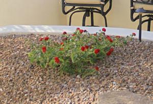 Mulching gardens to conserve water in Phoenix
